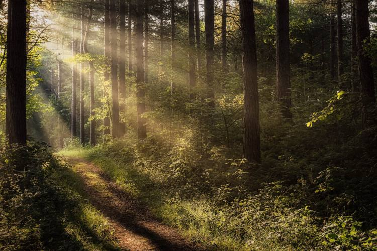 Rays-of-Light-in-Pine-Forest.jpg
